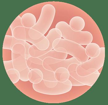 健康的に太る 乳酸菌